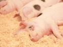 Growing finishing pig