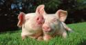 Trace elements premix for piglets