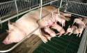 Trace elements premix for sows