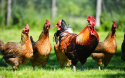 Trace Elements Premix Chicken Feeds for Breeders