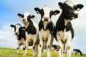 Mineral premix for dairy cows