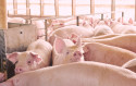 Premix for growing-finishing pigs-0.1%
