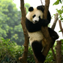 1 Day Chengdu City & Panda Base Tour